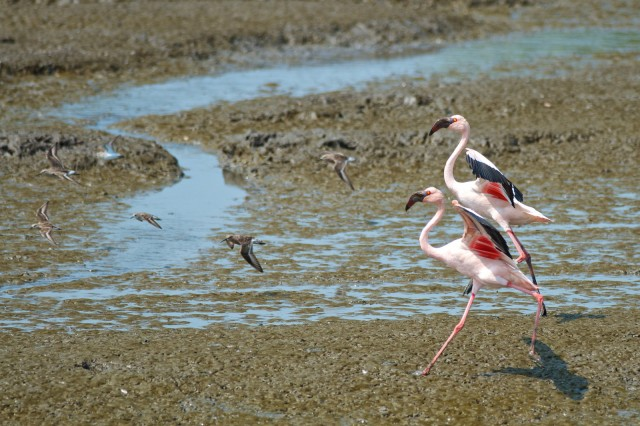 A pair of Lesser Flamingos in Mumbai's busy port area.