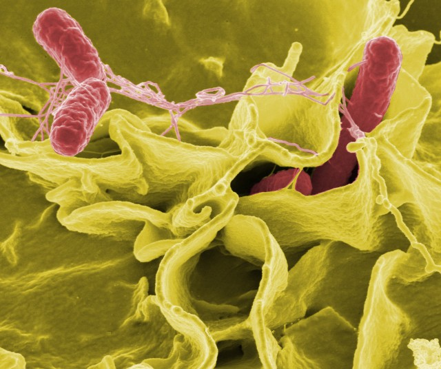Immune cells inadvertently help bacteria form persistent infections