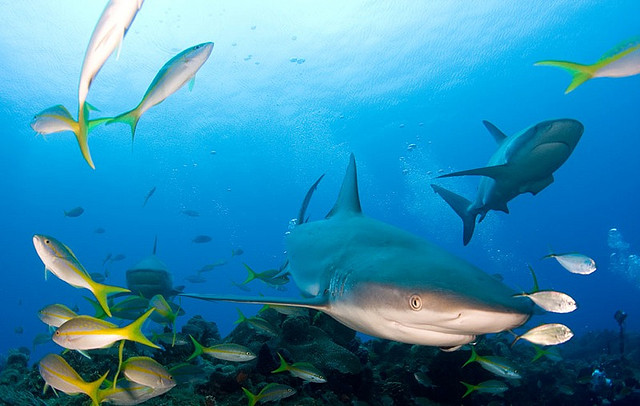 Effective marine protected areas support a greater abundance of sharks.