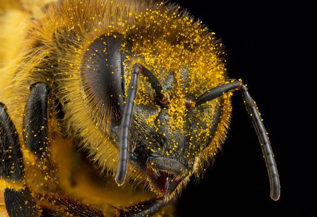 A worker honey bee covered in pollen. Honey bees add about 20 billion dollars a year to the US economy, mostly through their pollination services. Urbana, Illinois, USA.