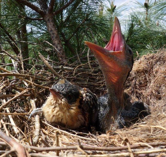Crows feed cuckoo chicks, get stinky defense against predators