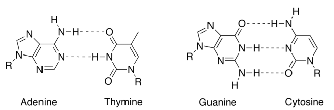 The normal, hydrogen-bonded base pairs found in DNA.