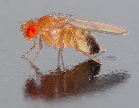 """""""Should I vacation in Tahiti or Hawaii?"""" Fruit flies struggle with tough decisions."""