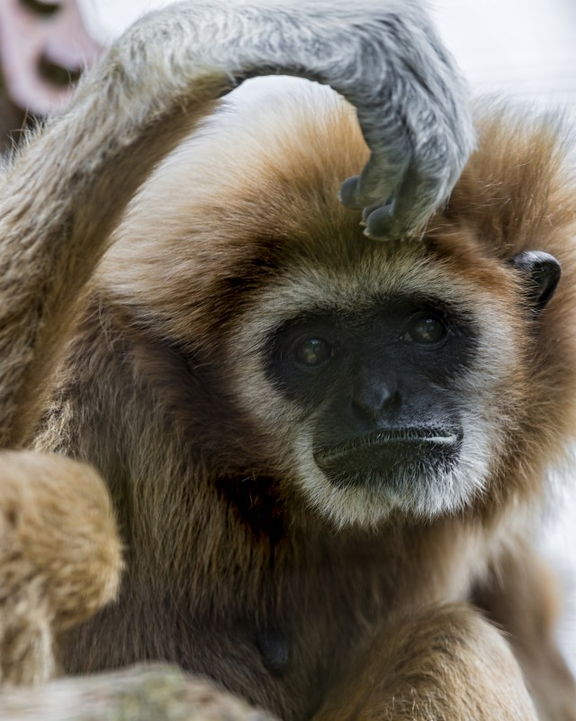 Another animal with A and B variants? Did you guess gibbons?
