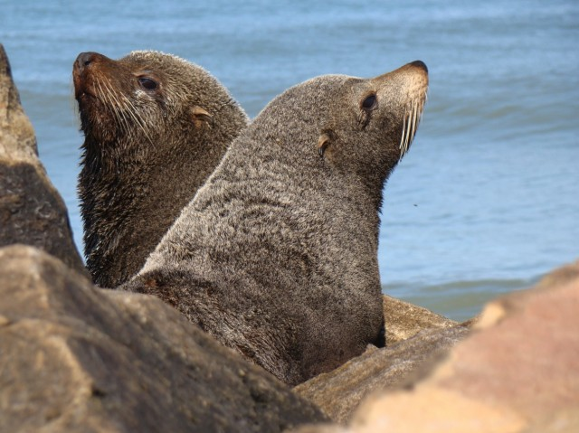 Seals carried tuberculosis across the Atlantic, gave it to humans