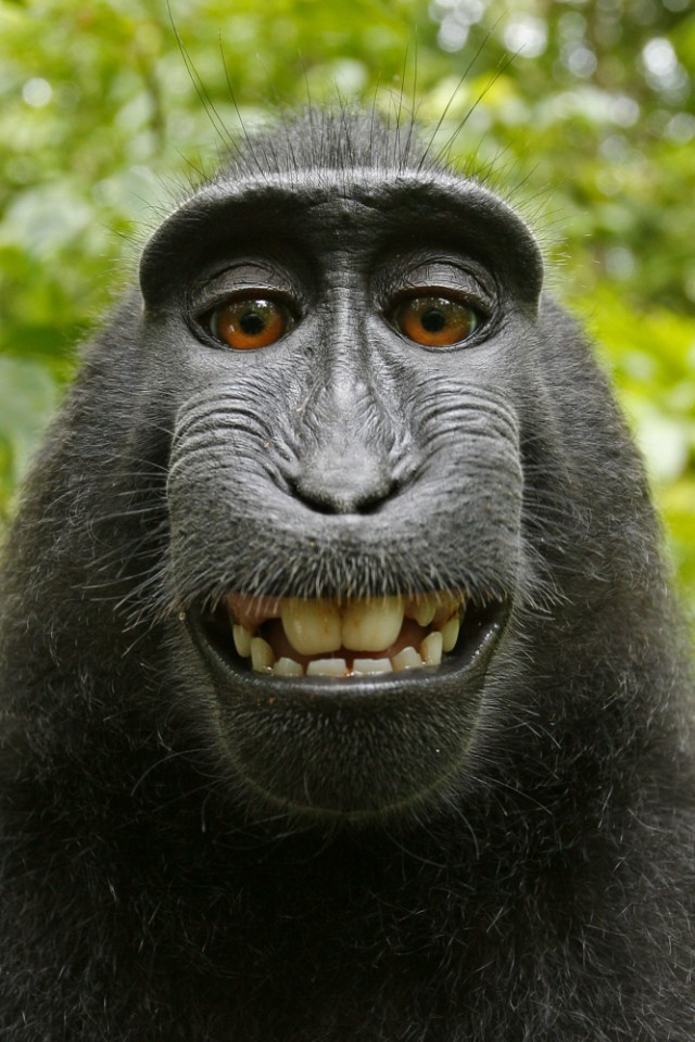 Monkey's selfie at center of copyright brouhaha