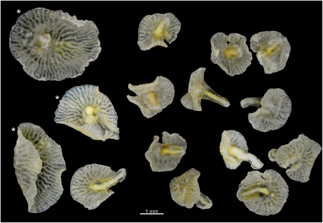 <em>D. enigmata</em> on the right, with the three larger samples on the left representing <em>D. discoides</em>.