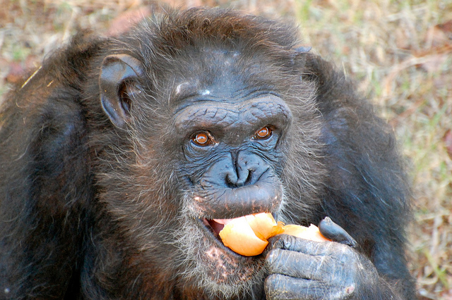 Chimps plan for their morning meals, helping fuel their big brains