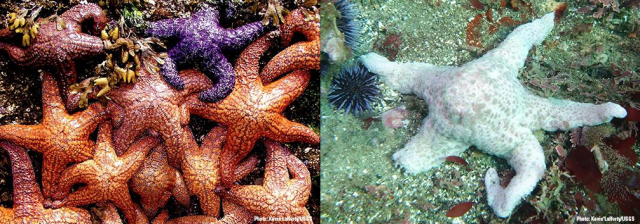 Healthy sea stars (left) and one suffering from wasting disease.