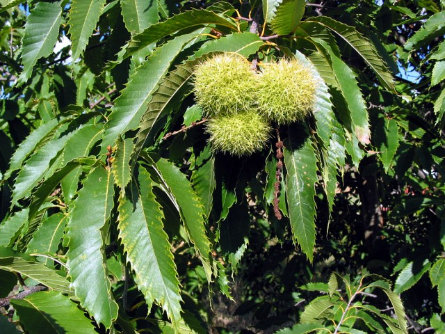 GMO trees could rescue American chestnut from invasive fungus