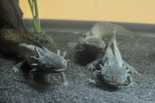 "The axolotl, a salamander capable of regenerating lost limbs, was among the creatures on display at an American Museum of Natural History <a href=""https://arstechnica.com/science/2015/04/extremophiles-arent-just-bacteria/"">exhibit on extremophiles</a> in recent years."