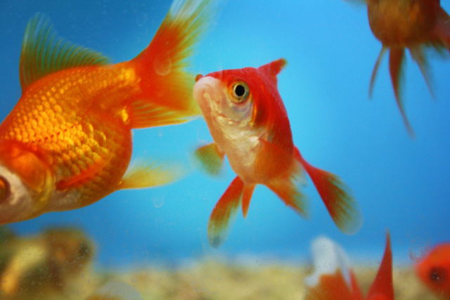 No, smartphones are not reducing your attention span to less than a goldfish's