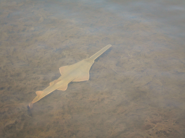 "Wild sawfish have ""virgin births,"" essentially cloning themselves"