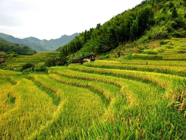 Genetically modified rice makes more food, less greenhouse gas