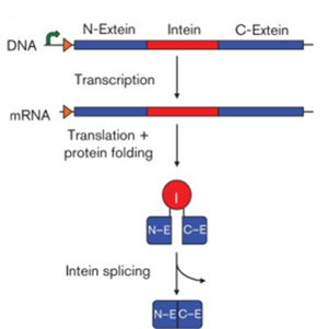 The intein is copied into RNA and then made into protein before removing itself from the gene product.