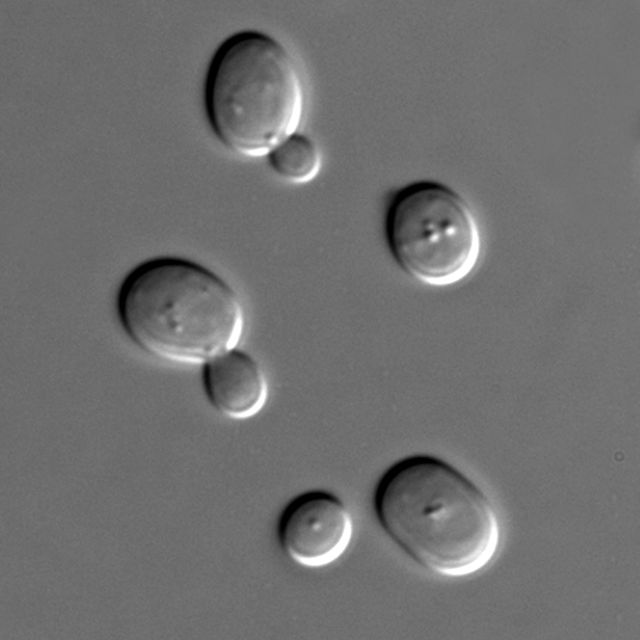Some yeast cells hamming it up for the camera.