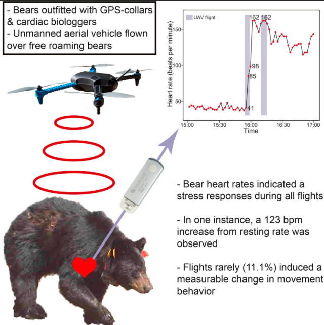 Drones used to monitor bears send their heart rates through the roof