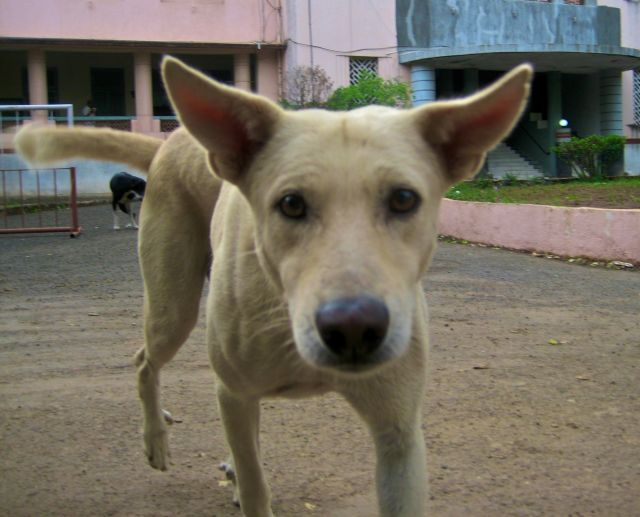 A village dog in India