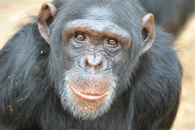 NIH ends support of chimp research, retires last animals