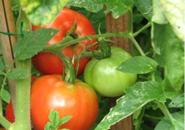Tomatoes taste good because we slowed down their internal clocks