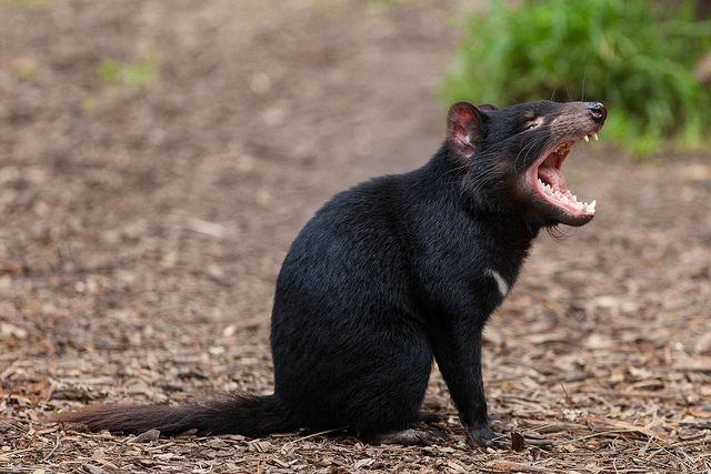 New type of contagious cancer spreading among Tasmanian devils