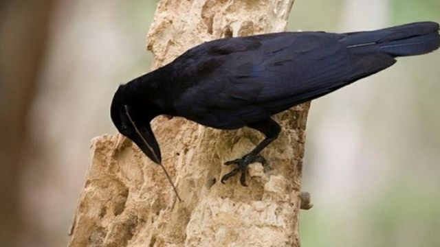 New Caledonian crow uses a tool to grab insects deep inside a piece of wood.