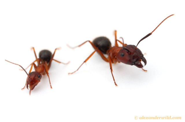 Slightly creepy experiment with ants shows that drugs can permanently alter behavior