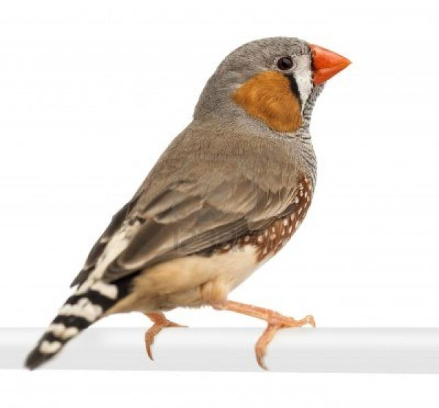 A zebra finch, commonly used in neurobiology experiments.