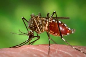 "Female Aedes aegypti mosquito as she was in the process of obtaining a ""blood meal."""