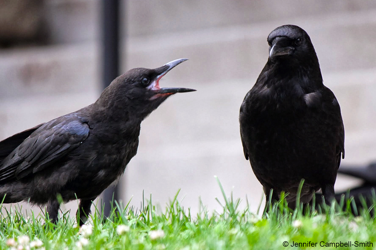 A juvenile American crow begs an adult for food.