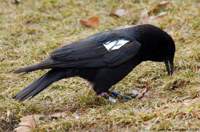 A crow caching its food.