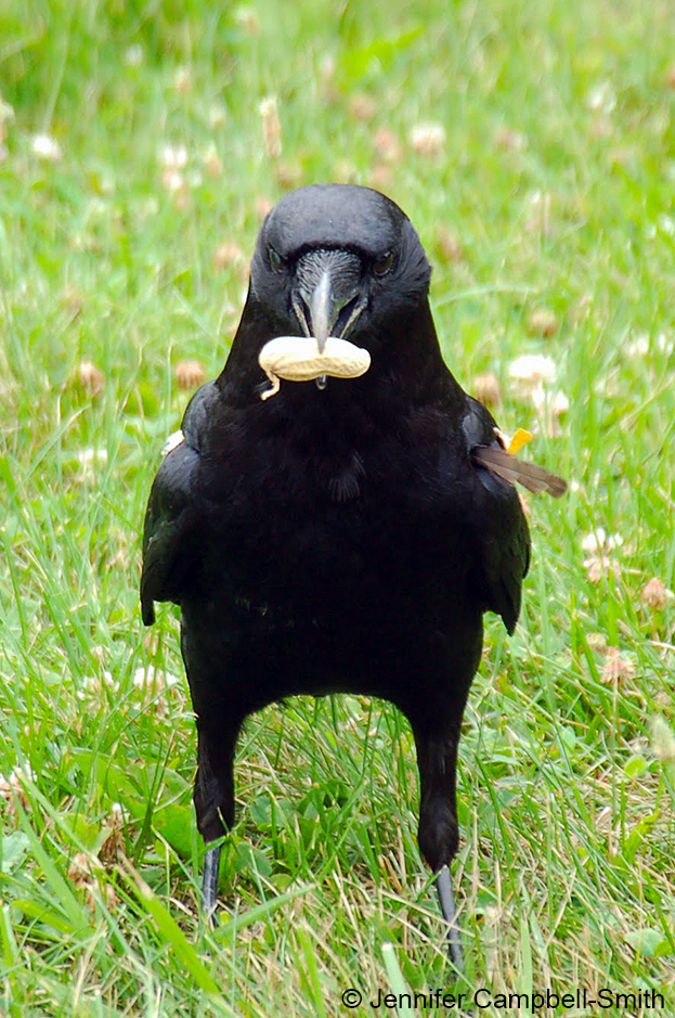 A crow from the population under study in Ithaca carries a peanut.
