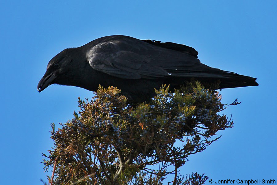 A fish crow in New Jersey eating berries. Don't draw too many conclusions from the remarkably smart look on its face.