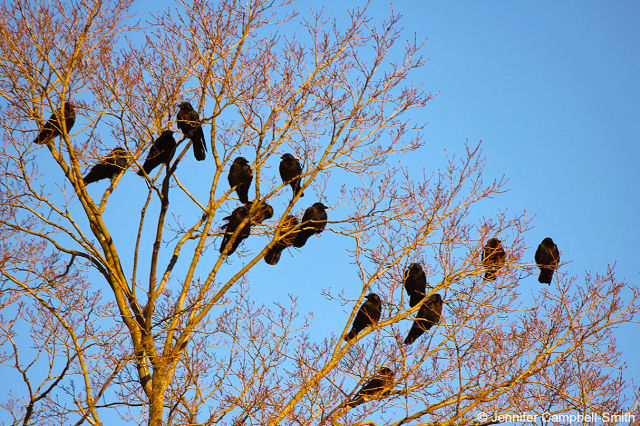 A group of American crows in a tree.