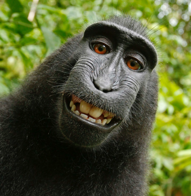 Judge says monkey cannot own copyright to famous selfies