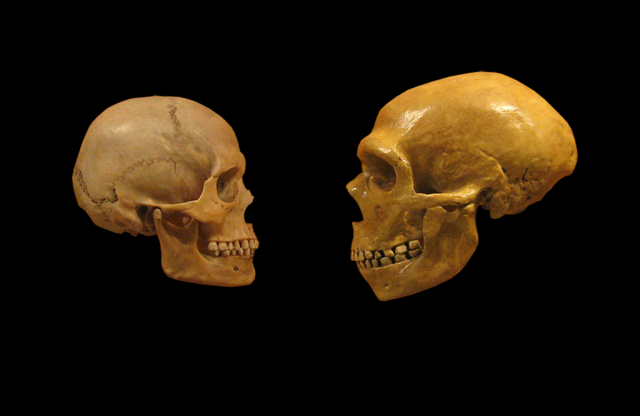 A modern human and Neanderthal skull face off.