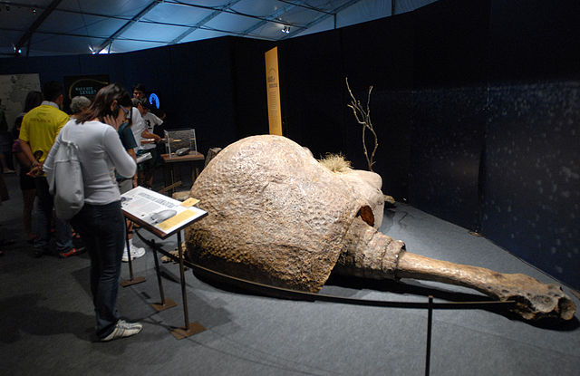 A fossil of <em>Doedicurus</em>, the largest of the Glyptodonts, reveals just how big these creatures were.