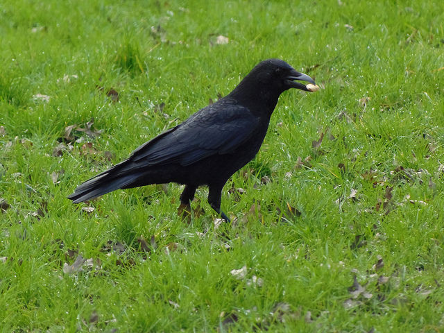 A raven with a large seed, about to bury it in a field.