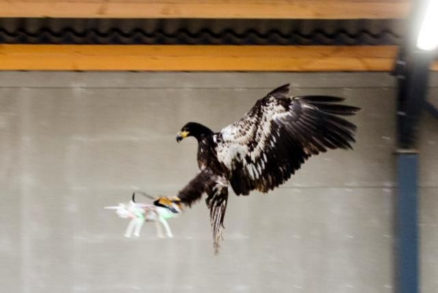 UK, Dutch police may use attack eagles to take down drones