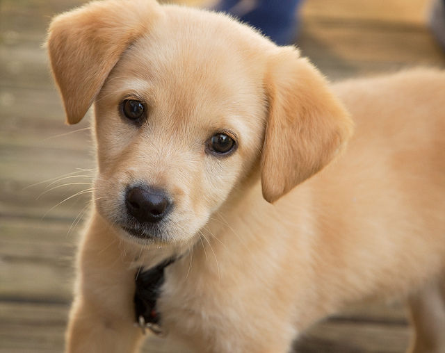 Fecal transplants in puppies cure 93% of recurring diarrhea cases