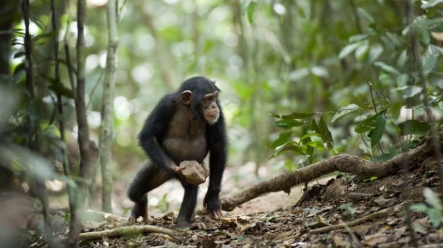 Ritualized behavior? Chimps all throw rocks at the same tree