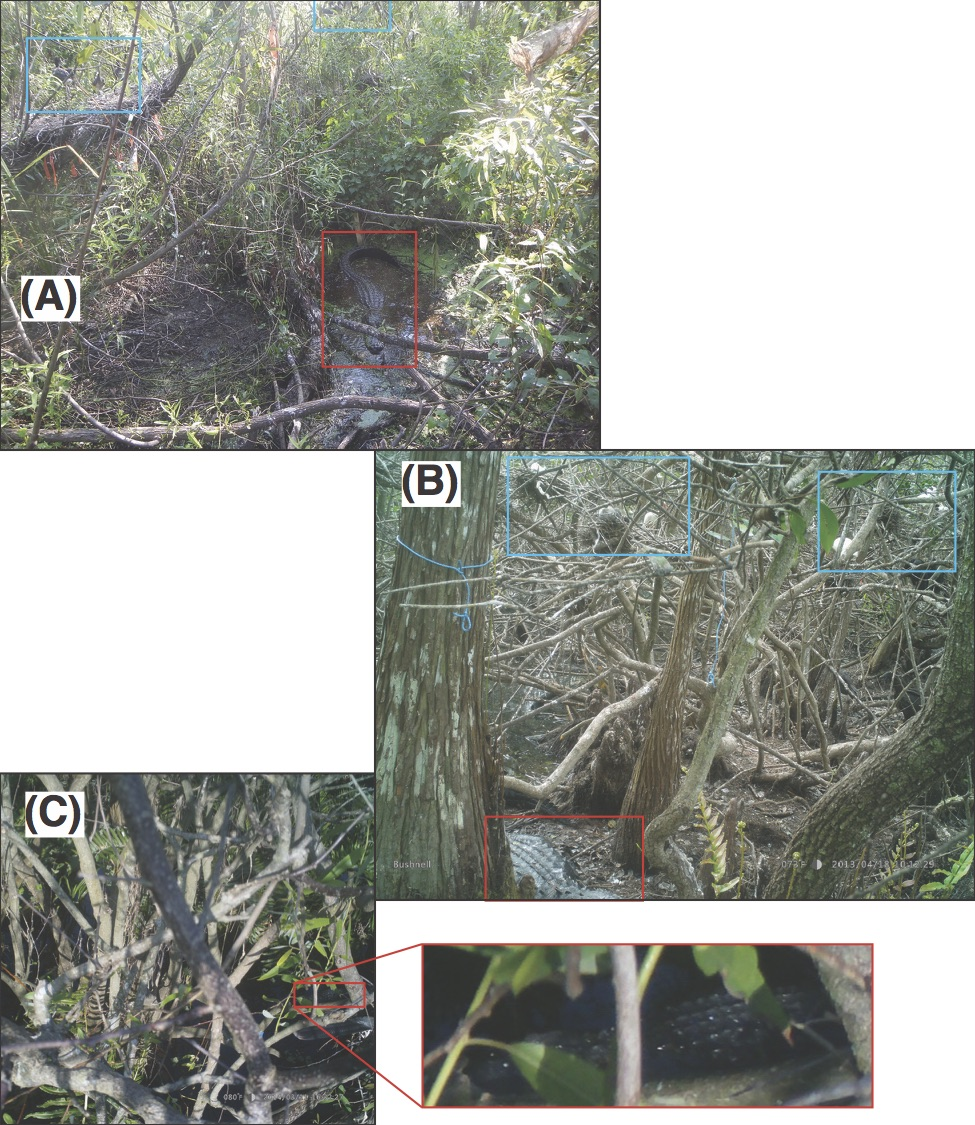 Alligators (red boxes) are observed under white ibis chicks (blue boxes) in wading bird nesting colonies. Here you can see the bird's-eye view from three nests. (A) and (B) are cameras placed near ibis nests; (C) is a camera facing down from an anhinga nest.