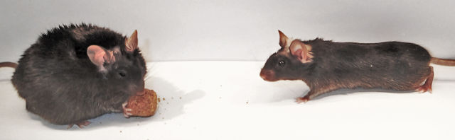 Littermates were injected with either a control virus (right) or a virus that knocked out O-GlcNAcTransferase (OGT) (left) in a subpopulation of cells in the hypothalamus in the brain. The OGT knockout made the mouse eat twice as much as its sibling. This photo was taken about five weeks after virus injection.