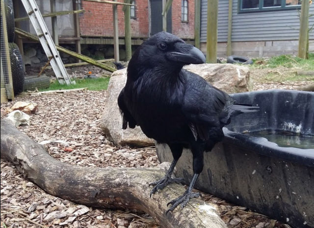 One of the ravens tested for self-control in the research, giving some major side eye.