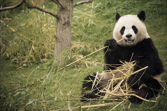 Giant pandas may be nearing extinction because of messed up microbiomes