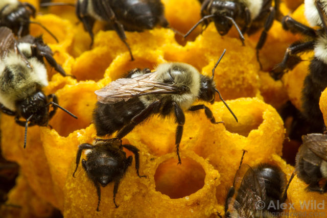 Bees work with nectar over their wax honey pots in a laboratory colony of Bombus impatiens. University of Texas, Austin, Texas, USA.