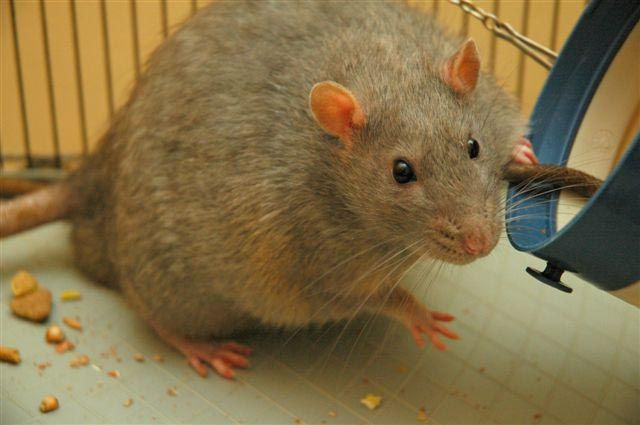 Gut microbes send message to the brain that sparks obesity in rodents