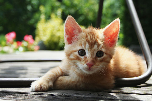 Cats can transmit multiple infections, including MRSA, toxoplasmosis, ringworm and hookworm.