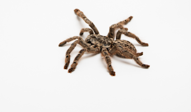 Tarantula venom points scientists to a new way to cause—and maybe cure—pain