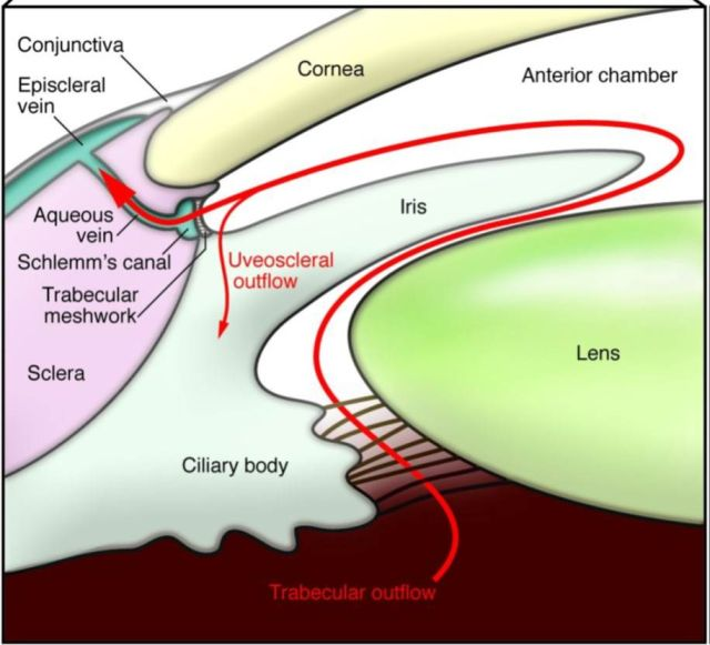 The trabecular meshwork (between the cornea and iris) helps fluid move from the eye into a drainage system, as shown by the red arrows.